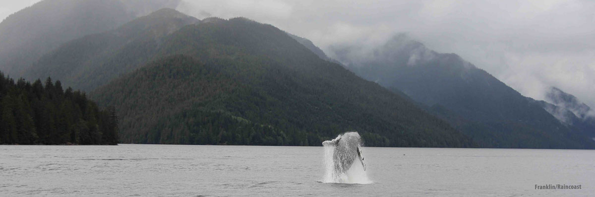 A whale breaches with mountains and fog in the background.